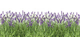 Lavender flowers. Fresh lavender plants isolated on white