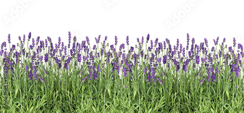 Lavender flowers. Fresh lavender plants isolated on white - 107877649
