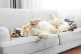 Fototapety Golden retriever lying on a sofa at home