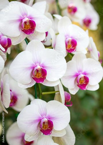 Panel Szklany White phalaenopsis orchid flower