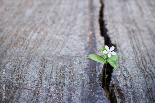 white flower growing on crack street, soft focus, blank text Poster