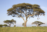 Acacia tree in african landscape - 107935456