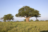 Baobab tree in african landscape