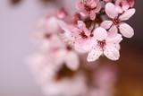 Kwitnący kwiat wiśni - 107954864