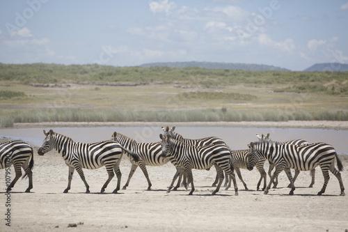 Obraz na Szkle Portrait of wild free roaming zebra