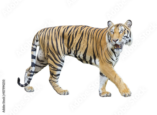 Aluminium Tijger tiger isolated on white background with clipping path.
