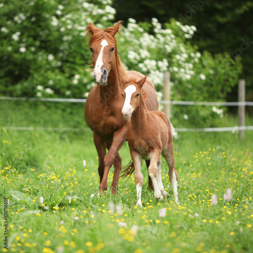 Beautiful mare running with foal