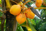fruit on the tree coconut