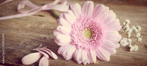 Zdjęcia na płótnie, fototapety, obrazy : rosa Gerbera - Blume mit Schleierkraut - Grußkarte