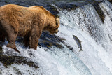 Fototapety Grizzly Bears fishing for salmon Katmai National Park Alaska