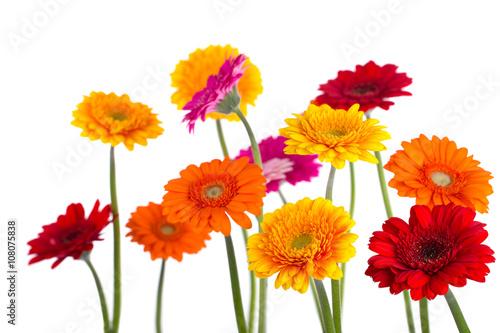 Plexiglas Gerbera Bunte Blumen - Gerbera - Freisteller