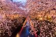 Cherry blossom or Sakura at Meguro Canal.