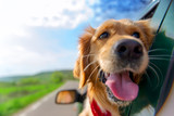 Fototapety Golden Retriever Looking Out Of Car Window