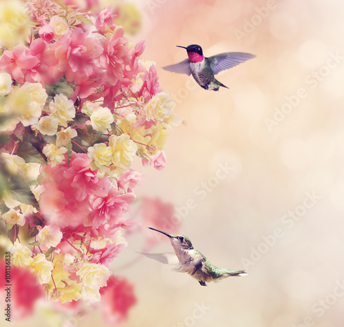 fototapeta na ścianę Hummingbirds and Flowers