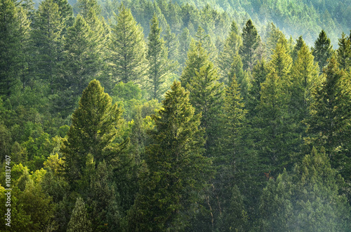Poster Forest of Pine Trees