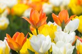 colorful flowers in spring (tulips)