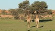 Two giraffes (Giraffa camelopardalis) walking in a dry riverbed, Kalahari desert, South Africa