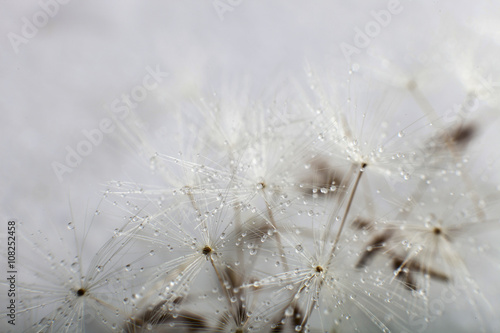 Dandelion seed with water drops - 108252458