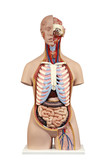 Anatomical model  unisex torso