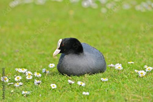 Poster Foulque macroule allongée dans l'herbe