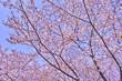 Obrazy na płótnie, fototapety, zdjęcia, fotoobrazy drukowane : 桜の木