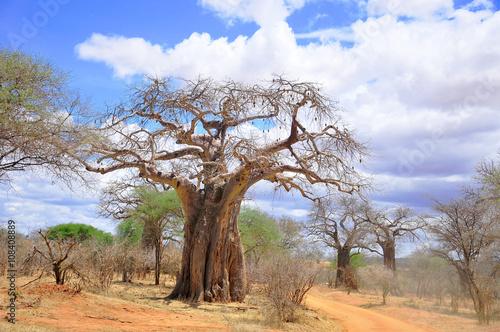 Poster Baobab Baobab or boab, boaboa, bottle tree, upside-down tree, and monkey bread tree Tarangire National Park is the sixth largest national park in Tanzania after Ruaha, Serengeti, Mikumi, Katavi and Mkomazi
