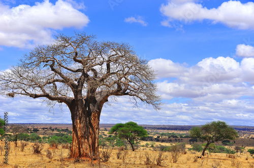 Papiers peints Baobab Baobab or boab, boaboa, bottle tree, upside-down tree, and monkey bread tree Tarangire National Park is the sixth largest national park in Tanzania after Ruaha, Serengeti, Mikumi, Katavi and Mkomazi