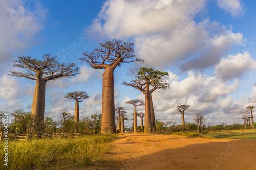 Fotobehang Baobab Allée des baobabs Madagascar
