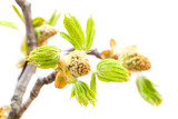 buds of chestnut on a white background