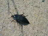 Oohirata carrion beetle