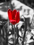Tulipe rouge fond noir et blanc - 108486228