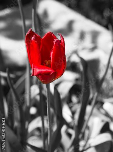 Tulipe rouge fond noir et blanc