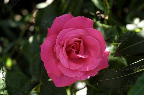 Zdjęcia na płótnie, fototapety, obrazy : Rosa