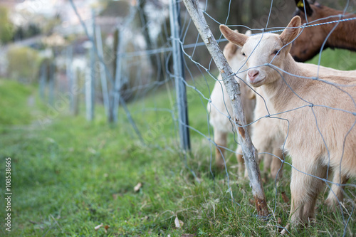 Poster Farm animals: Cute lambs grazing on a lovely green pasture, playing together