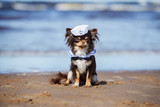 adorable chihuahua dog in a sailor hat sitting on the beach