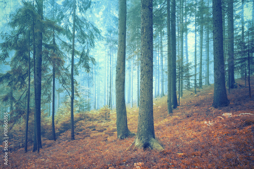 Beautiful dreamy conifer forest. Color filter effect used. - 108665855
