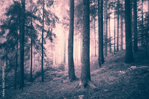 Beautiful pink colored dreamy conifer forest. Color filter effect used. - 108669871