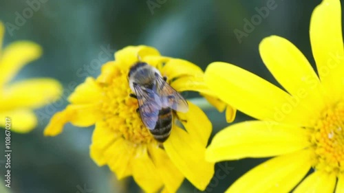 Zdjęcia na płótnie, fototapety, obrazy : Bee on the flower. Honey bee working on yellow flower.
