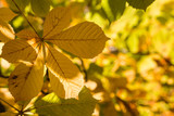 horse-chestnut leaves in autumn