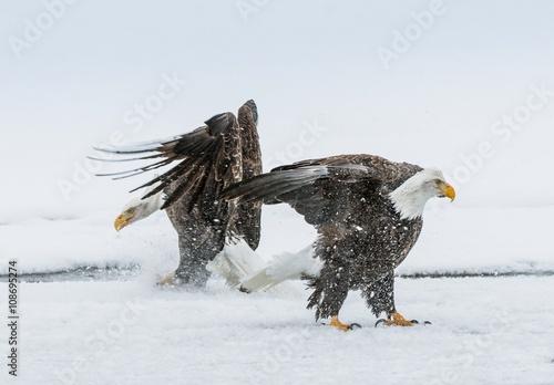 Bald Eagles (HALIAEETUS LEUCOCEPHALUS) fighting © Uryadnikov Sergey