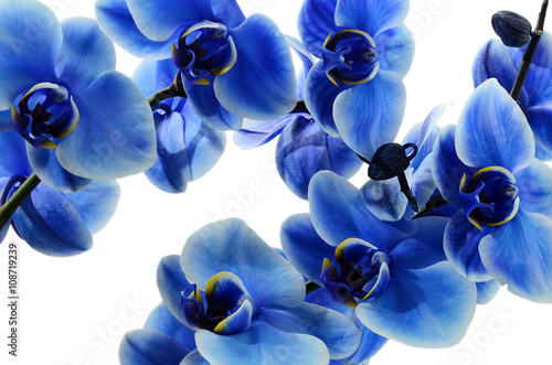 Panel Szklany Orchid blue flower