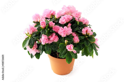 Fotobehang Azalea pink azalea bush on white isolated background