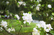 Obrazy na płótnie, fototapety, zdjęcia, fotoobrazy drukowane : Paoenia Lactifolia at Yildiz park in Istanbul
