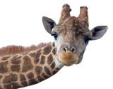 Giraffe head face - 108737489