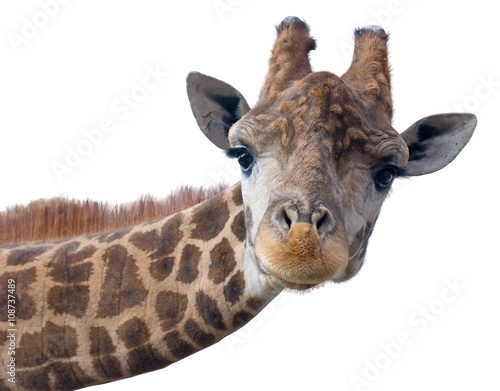 Giraffe head face Poster