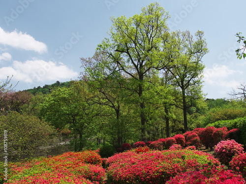 Papiers peints Azalea Azalea flowers at Mt. Komuro Park