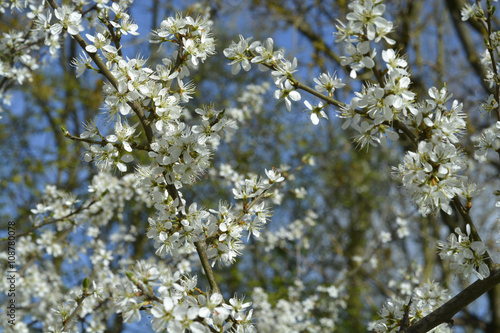 Poster Flowering white blossom prunus and pyrus in the spring season