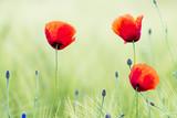 mak polny pośród ziół i kwiatów polnych na łące