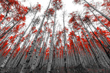 Tall Red Trees in Black and White Landscape - 108801099