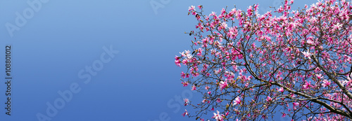 Spring Magnolia Blossoms Against Blue Sky Background - 108801012